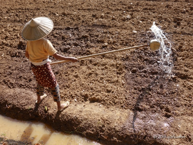 Wetting the field to soften the earth for planting