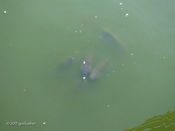 Hungry fish in pond of Kyay Thone Pagoda