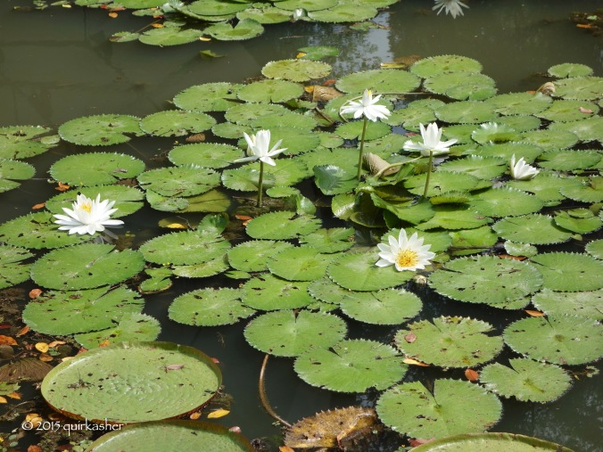 Water lilies on Symphony Lake