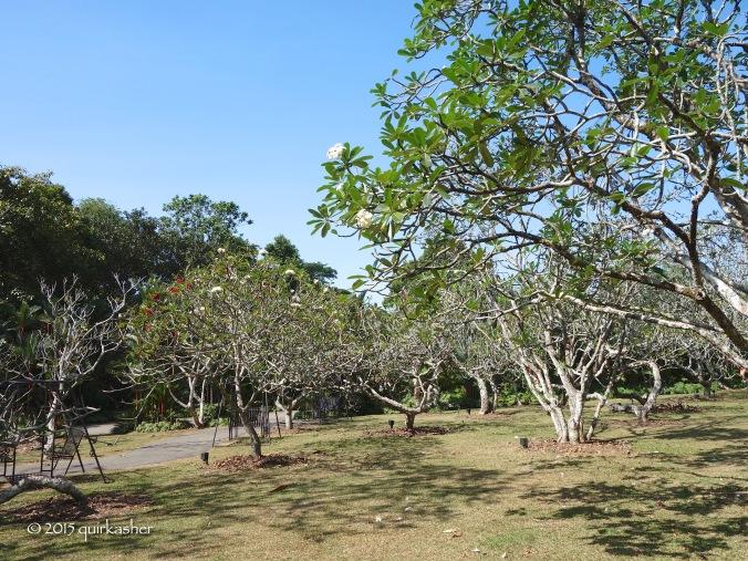 The gardens' frangipani collection