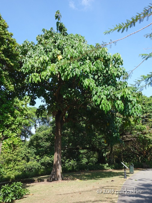 Kepayang tree from which the buah keluak is obtained