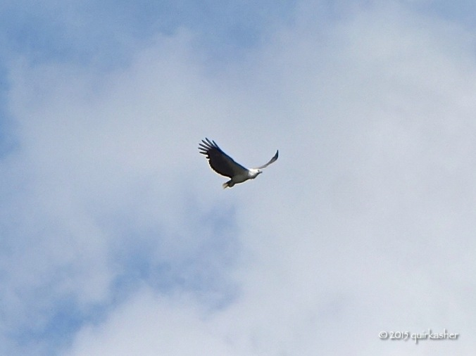 The first animal to greet me at the reserve was this white-bellied sea eagle