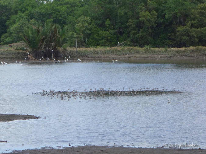 Wetland waterbirds