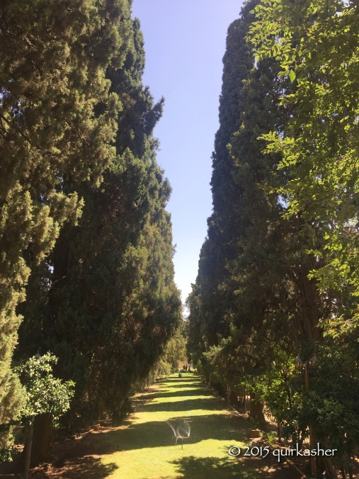 Rows of cypress trees