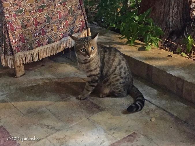A real Persian cat