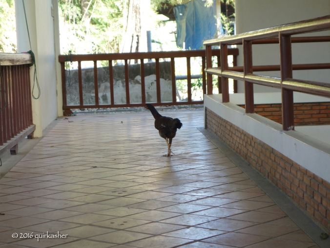 Village chicken visiting the archaeological pits