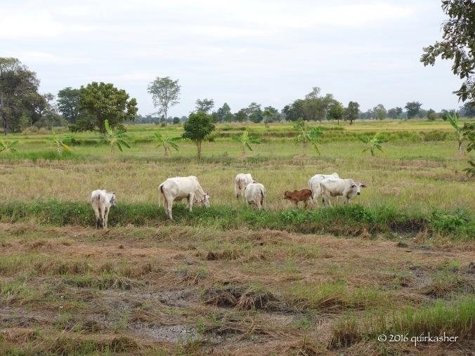 Fields near Prasat Muang Tam