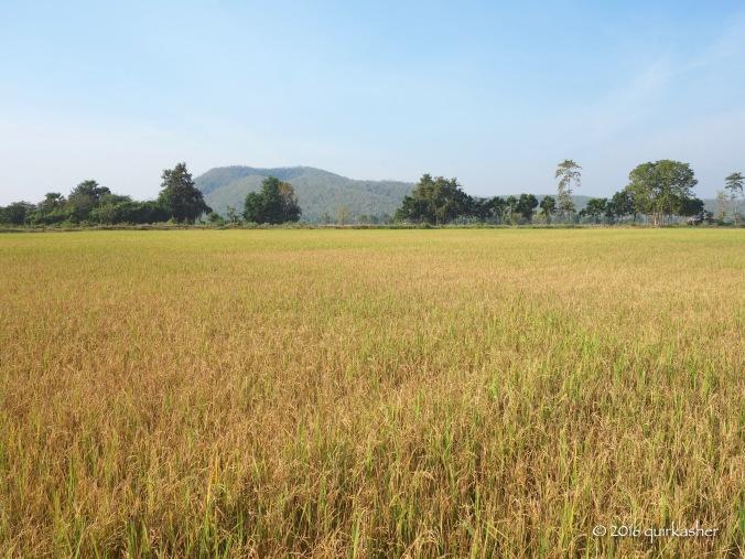 Golden padi field between Sukhothai and Si Satchanalai